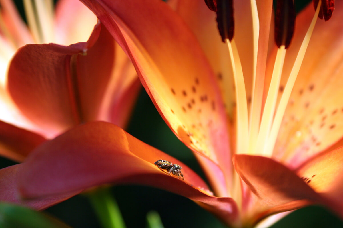 Lily Flower and Spider